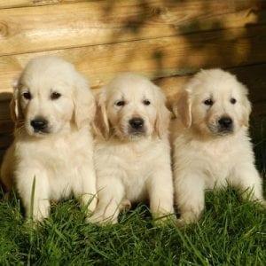 American cute puppies; cuteness and culture